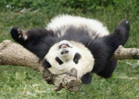 Fotografia de oso panda jugueton