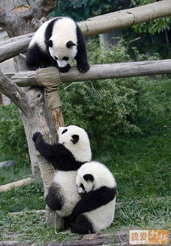 Simpatica fotografia de osos panda jugando