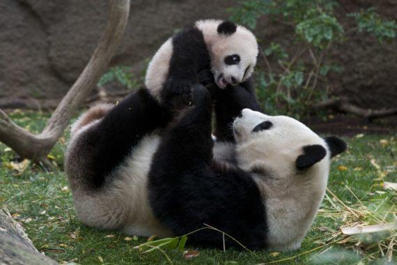 Fotografia de osa panda jugando con su cria bebe -foto