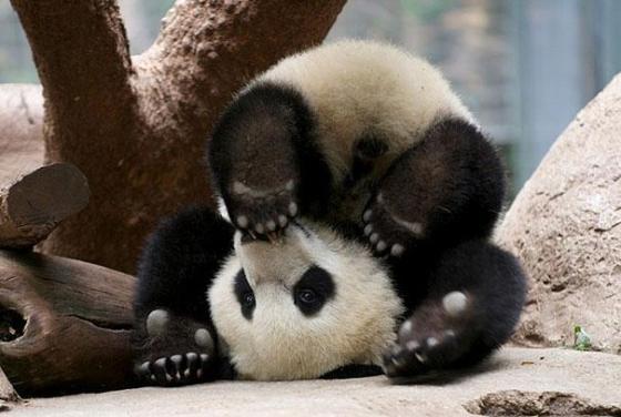 Fotografia de osito panda patas para arriba