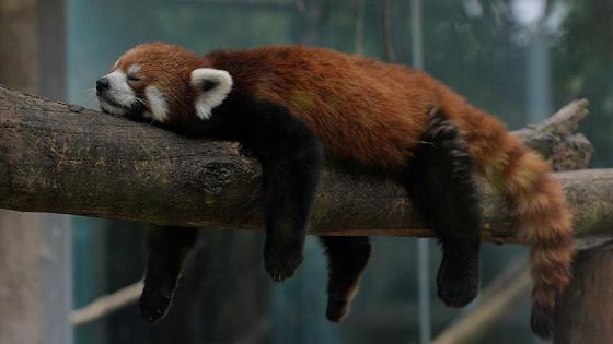 Imagen oso panda rojo