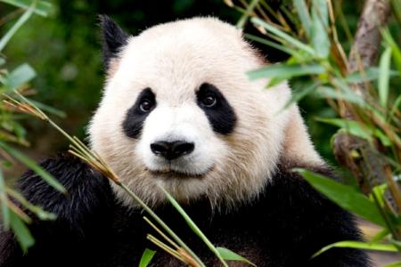 Simpatica foto de oso panda