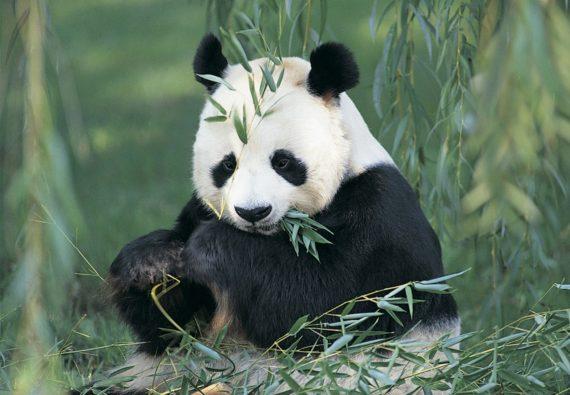Simpatica imagen de oso panda comiendo