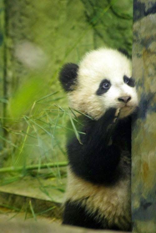 Fotografia de osito panda timido