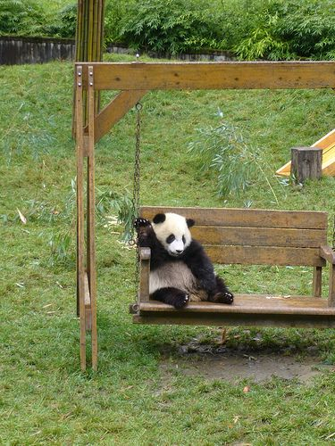 Fotografia de oso panda disfrutando de la vida