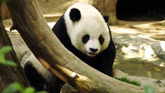 Imagen de oso panda