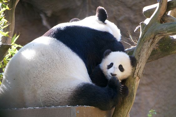 Mama osa panda con su cachorro