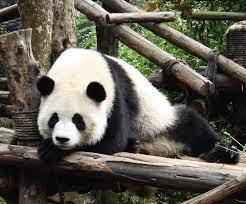 Fotografia de oso panda