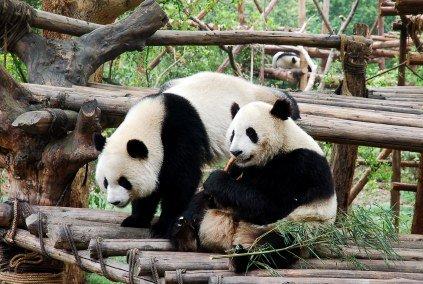 Simpatica fotografia de osos panda