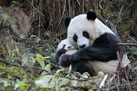 Tierna imagen de osa panda con su cria