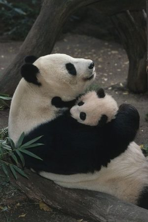 Imagen osa panda consintiendo a su cria