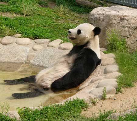 Fotografia de oso panda bañandose placidamente