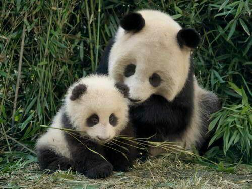 Imagen osa panda mama con su cachorro bebe