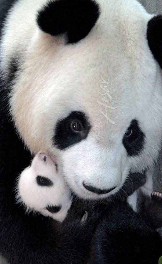 Fotografia mama osa panda con su cria bebe