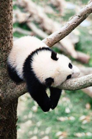 Simpatica fotografia de oso panda durmiendo en la rama de un arbol